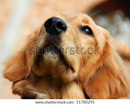 golden retriever young dog portrait nose closeup - stock photo
