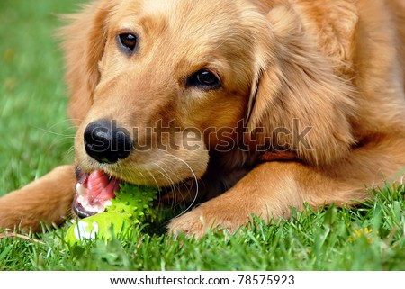 golden retriever young dog portrait with toy bone - stock photo