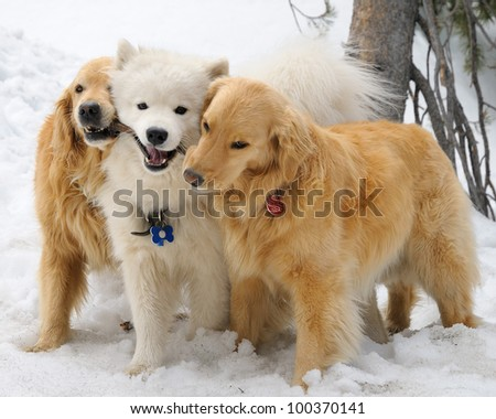 Golden Retrievers and Samoyed with a stick in the snow - stock photo