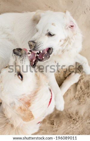 Golden retrievers in sand dunes