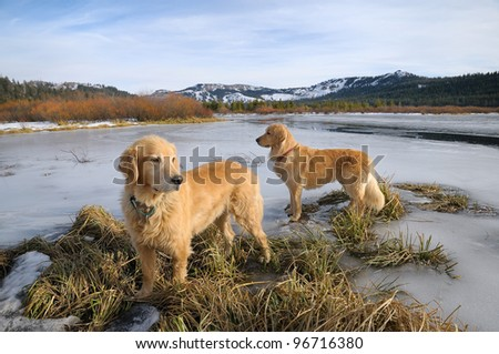 Golden Retrievers on frozen lake in Sierra Nevada mountains - stock photo
