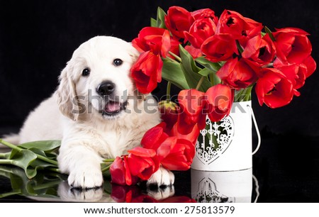 golden retriver puppy and spring flowers - stock photo
