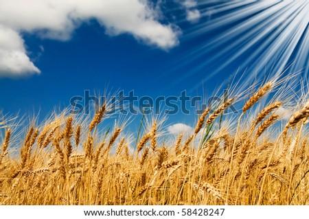 Golden, ripe wheat against blue sky background. - stock photo
