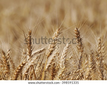Golden ripe wheat field background, agricultural landscape - stock photo