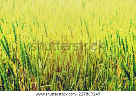 Golden ripe wheat field in sunny day. Agricultural landscape in retro style - stock photo
