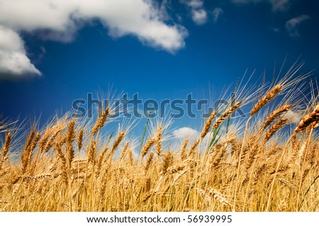 Golden, ripe wheat in the blue sky background. - stock photo