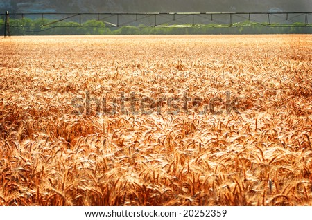 golden ripe wheat with irrigation system