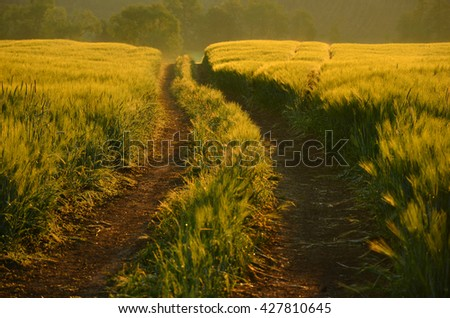 Golden road thought morning rye field during colorful calm sunset. Meadow of wheat. Nature composition. - stock photo