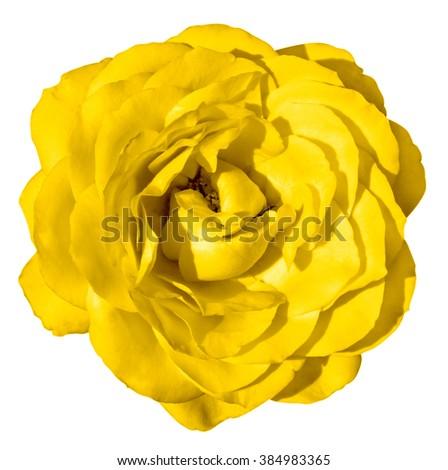 Golden rose flower macro isolated on white - stock photo