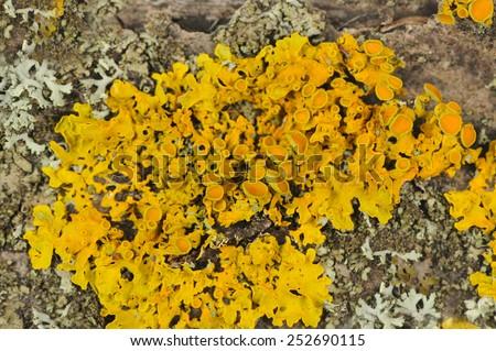 Golden Shield Lichen Close-Up on Tree Bark - stock photo