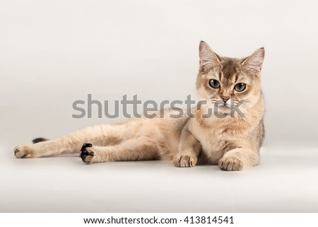 golden short hair breed cat lay at gray background