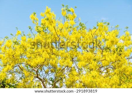 Golden Shower flower on tree, Thailand - stock photo