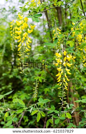 Golden shower tree, beautiful yellow flower name is Cassia fistula