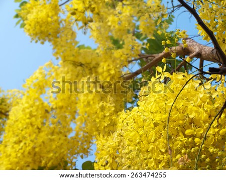 Golden shower tree, National Tree of Thailand, Cassia fistula, Family Fabaceae - stock photo