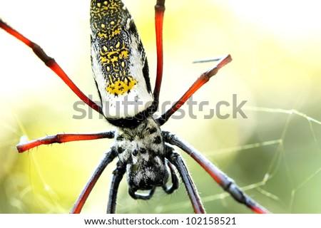 Golden silk orb weaver spider female on golden web - stock photo