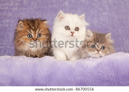 Golden Silver Blue Chinchilla kittens on lilac background - stock photo