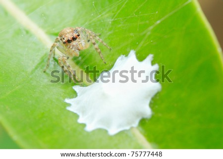 Golden Spider protecting its nest - stock photo