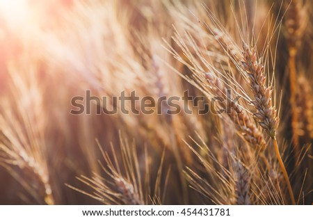 golden spikelets of wheat or rye, close up in sunny day. majestic rural landscape under shining sunlight. Rich harvest Concept. small depth of field. Soft lighting effects. - stock photo