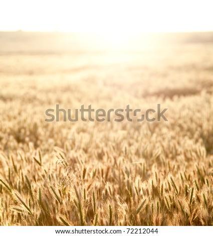 Golden spikes at sunrise field - stock photo