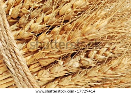 Golden stalks of wheat tied in a bundle.  Macro image ideal as background.
