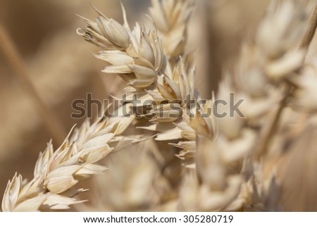 Golden staple wheat at harvest for Thanksgiving in autumn. Macro photography of the grain. Healthy organic carbohydrates nutrition - stock photo
