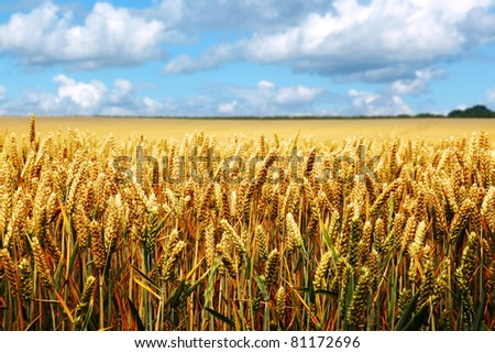 Golden summer landscape - wheat field with blue sky and cloudscape