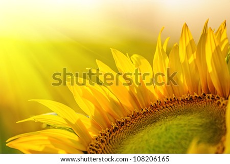 Golden sunflower in the field backlit by the rays of the setting sun - stock photo