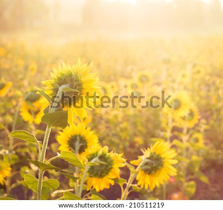 Golden sunflower in the field with the rays of the sunset.