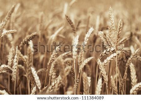 Golden sunset over wheat field. - stock photo