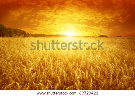 Golden sunset over wheat field. - stock photo