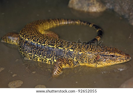 Golden Tegu (Tupinambis teguixin) in the Peruvian Amazon - stock photo