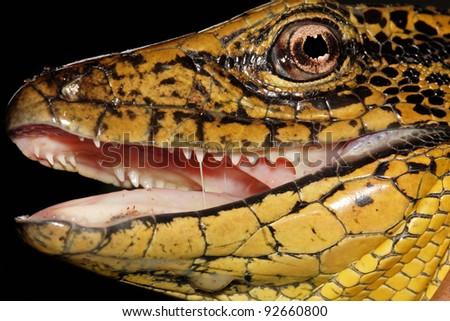 Golden Tegu (Tupinambis teguixin) in the Peruvian Amazon (closeup showing teeth!) - stock photo
