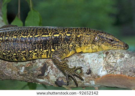 Golden Tegu (Tupinambis teguixin) rests in a tree in the Peruvian Amazon - stock photo