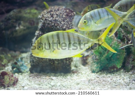 GOLDEN TOOTHLESS TREVALLY fish.