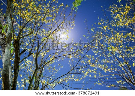 Golden Tree or Tallow Pui and Moon lighht, Tabebuia chrysantha  (Jacq.) G.Nicholson, Bignoniaceae - stock photo