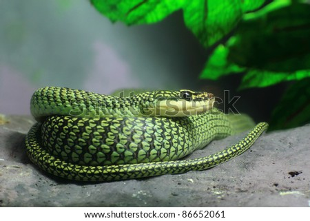 Golden Tree Snake (Chrysopelea ornata) to curl oneself up on the rock - stock photo