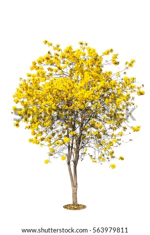 Golden tree yellow flowers tree tabebuia stock photo royalty free golden tree yellow flowers tree tabebuia isolated on white background tropical trees isolated mightylinksfo