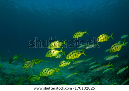 Golden Trevally Jack pilotfish, (Gnathanodon speciosus) in school. Reefs of sea of Cortez, Pacific Ocean. Cabo Pulmo, Mexico. Cousteau once named it The world's aquarium. Baja California Sur,Mexico.  - stock photo
