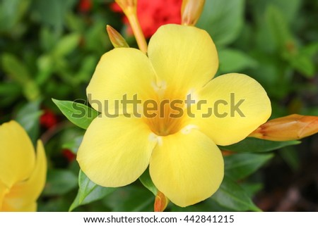 Golden Trumpet, Allamanda cathartica, willow-leaved climber blooming in the garden. Yellow flower.(select focus front Golden Trumpet) - stock photo