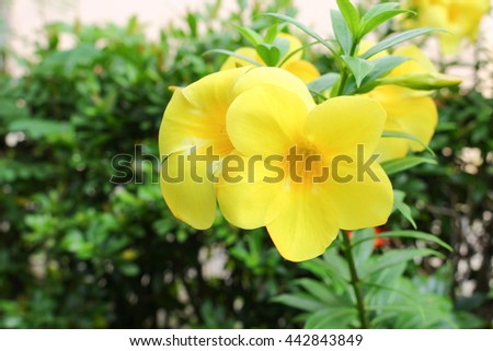 Golden Trumpet, Allamanda cathartica, willow-leaved climber blooming in the garden. Yellow flower.( Close upselect focus front Golden Trumpet) - stock photo