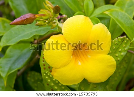 Golden Trumpet flower sprinkled with raindrops, surrounded by green foliage - stock photo