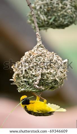 Golden weaver bird hanging below nest whilst building it. - stock photo