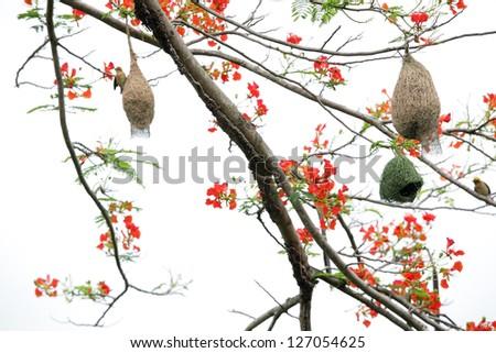 golden weaver nest on flame tree. - stock photo