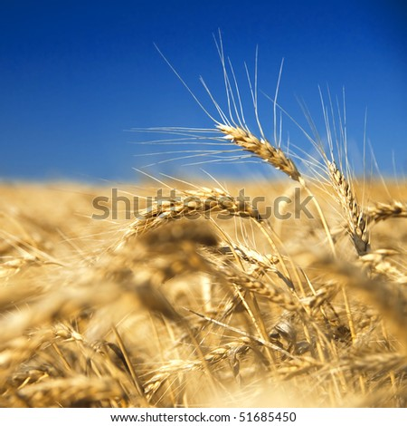 golden wheat against blue sky - stock photo