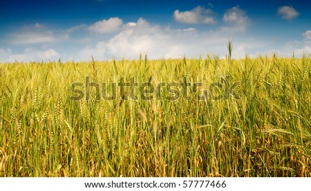 Golden wheat against blue sky with clouds. - stock photo