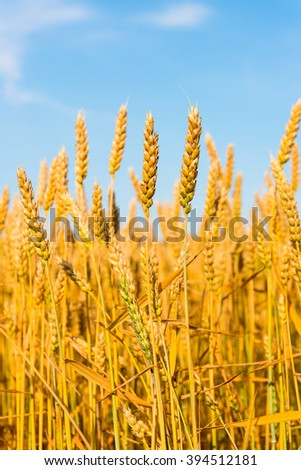 Golden wheat against the blue sky