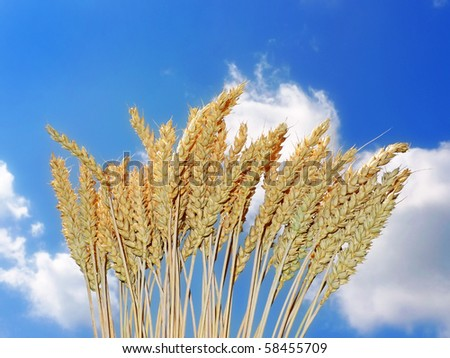 golden wheat and blue sky