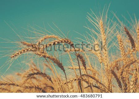 Golden wheat ear closeup on field and blue sky background. Harvest and farming concept. Agricultural business. Soft toned image