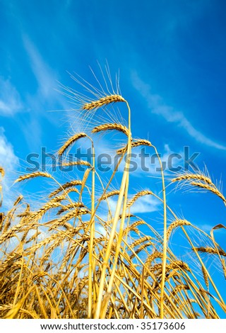 Golden wheat ears with blue sky over them. south Ukraine