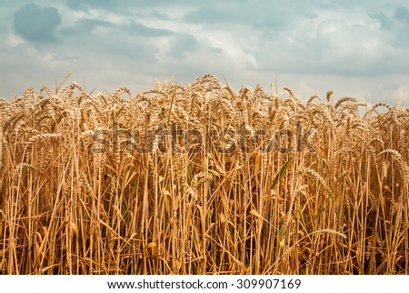 Golden wheat field against blue sky with clouds - washed out colors - vintage look